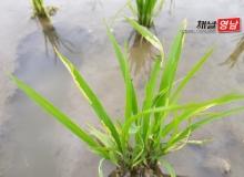 [농업.어업.산림]벼 해충 기승…적기 방제로 피해 최소화해야