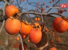 [상주]'상주 전통 곶감농업'국가중요농업유산 지정