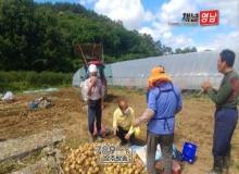 [상주]강영석 상주시장, 함창읍 감자·양파 수확현장 방문